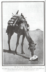 Harding-King's riding camel